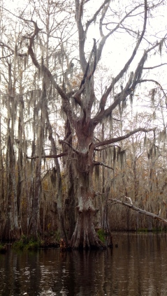 Cypress Trees.